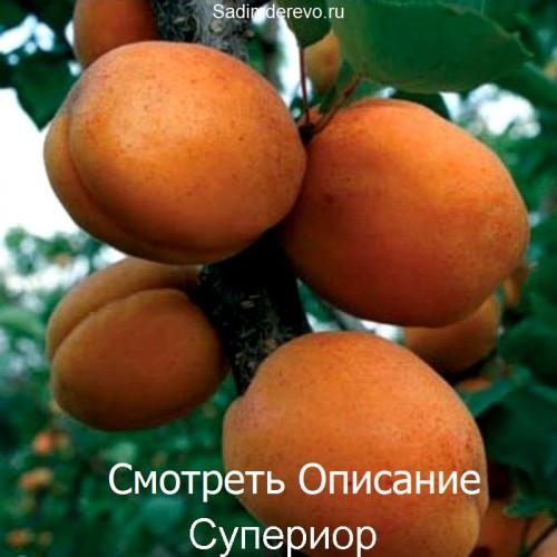 Саженцы Абрикоса Супериор