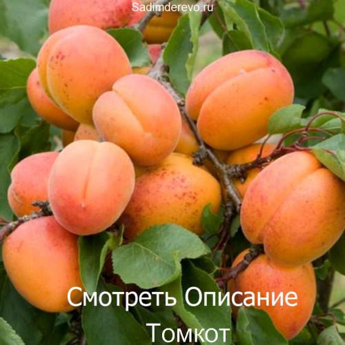 Саженцы Абрикоса сорта Томкот