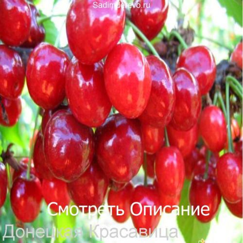 Саженцы Черешни сорта Донецкая Красавица