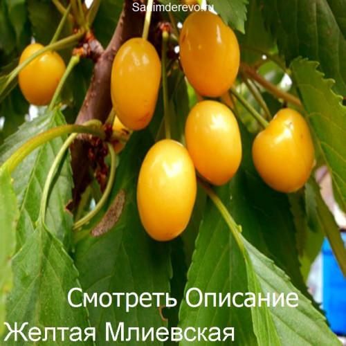 Саженцы Черешни сорта Желтая млиевская