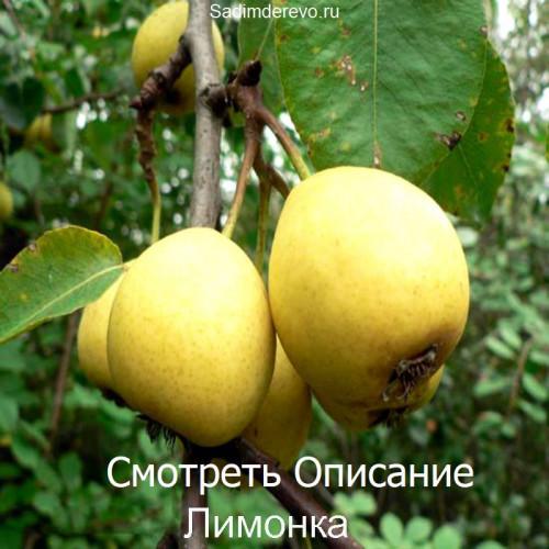 Саженцы Груши сорта Лимонка