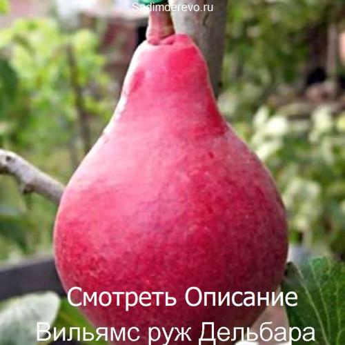 Саженцы Груши Вильямс руж Дельбара - фото и описание