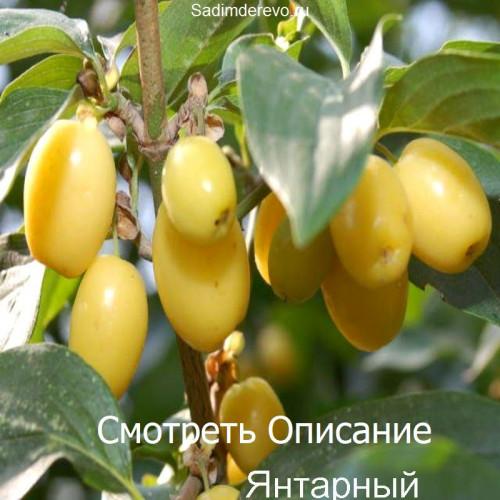Саженцы Кизила сорта Янтарный