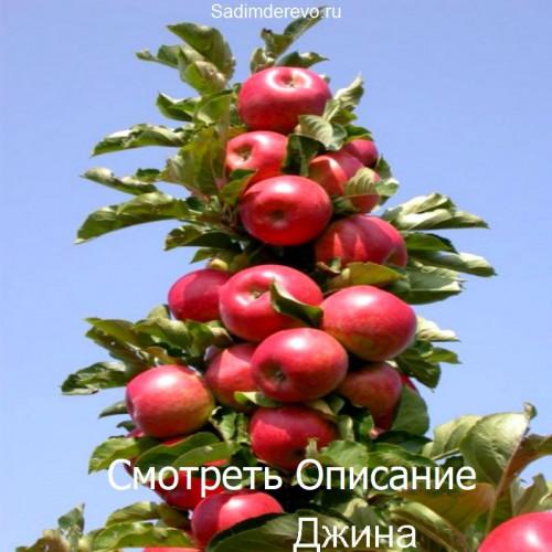 Саженцы Колоновидных Яблонь сорта Джина