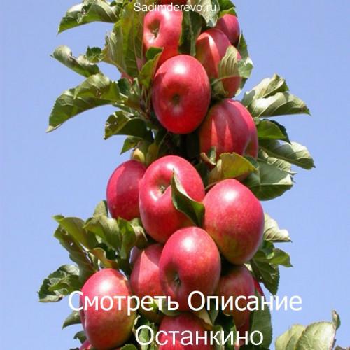 Саженцы Колоновидных Яблонь сорта Останкино