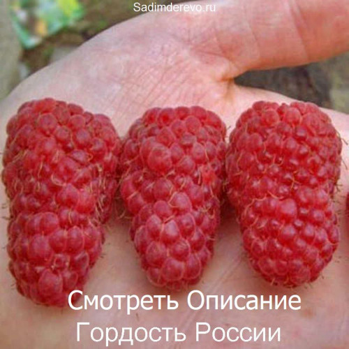 Саженцы Малины сорта Гордость России