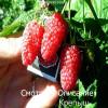 Особенности посадки малины весной: сроки, правила.