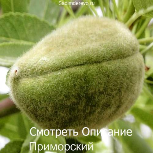 Саженцы Миндаля сорта Приморский