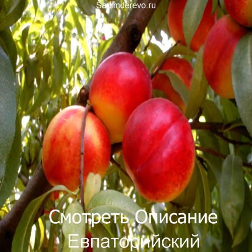 Саженцы Нектарина сорта Евпаторийский