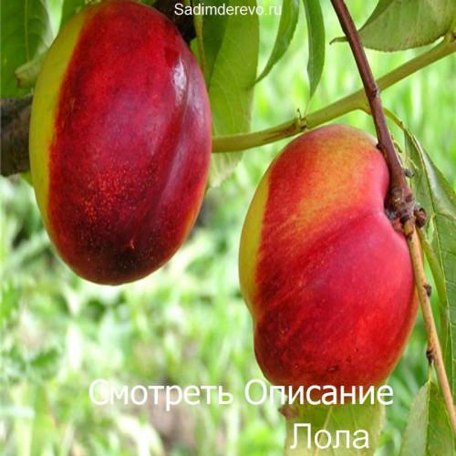 Саженцы Нектарина Лола - фото и описание