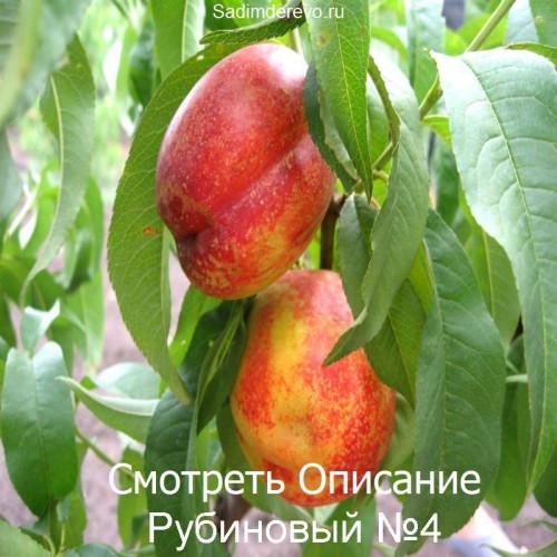 Саженцы Нектарина сорта Рубиновый №4