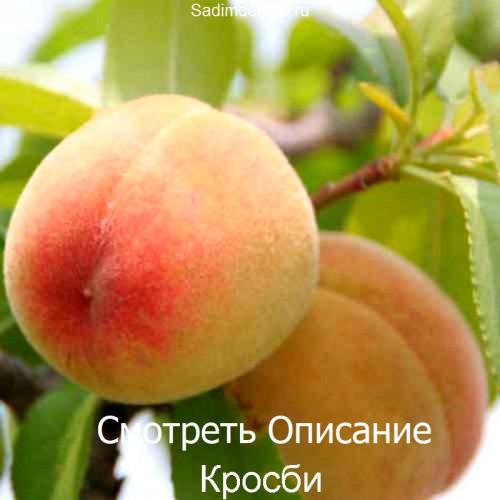 Саженцы Персика сорта Кросби