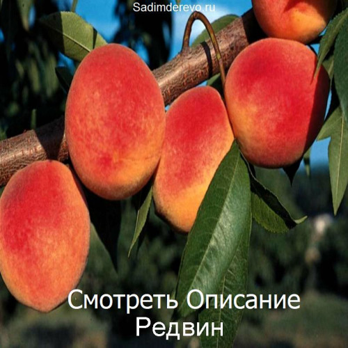Саженцы Персика Редвин - цена и описание