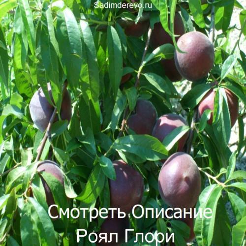 Саженцы Персика сорта Роял Глори