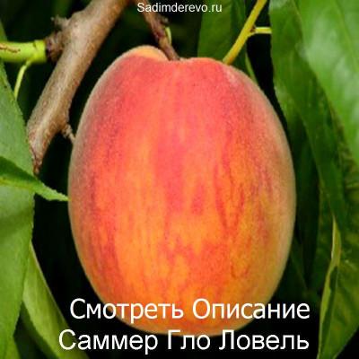 Персик Саммер Гло Ловель