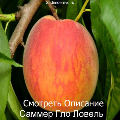 Саженцы Персика сорта Саммер Гло Ловель