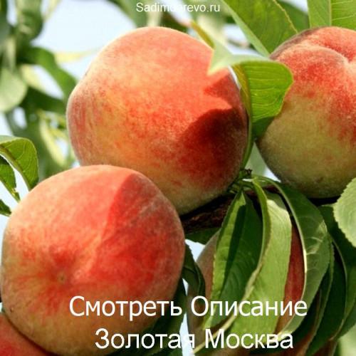 Саженцы Персика сорта Золотая Москва