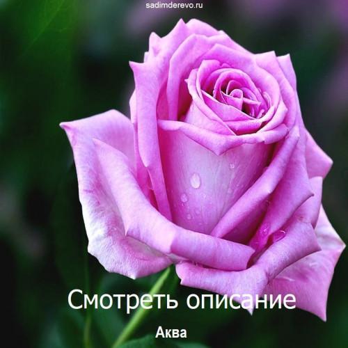 Саженцы Роз сорта Аква