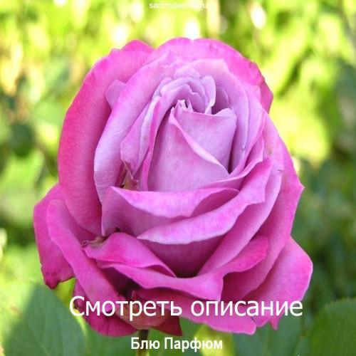 Саженцы Роз сорта Блю Парфюм