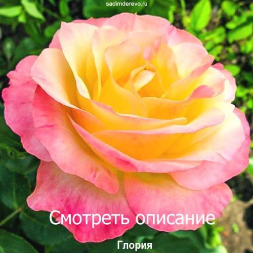 Саженцы Роз сорта Глория