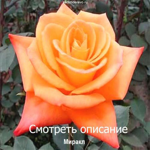 Саженцы Роз сорта Миракл