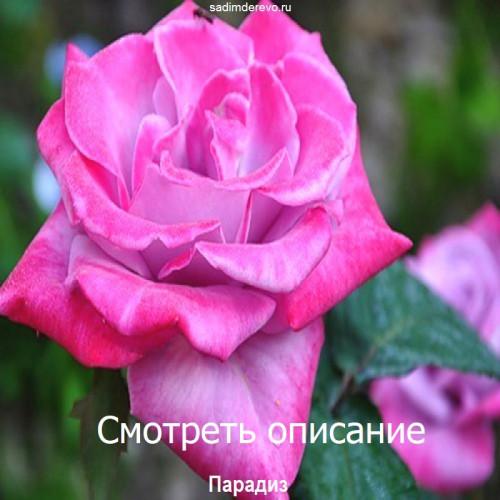 Саженцы Роз сорта Парадиз