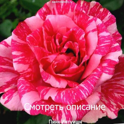 Саженцы Роз сорта Пинк Интуишн