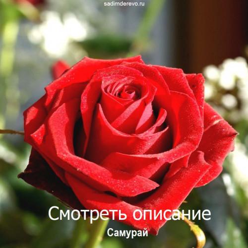 Саженцы Роз сорта Самурай