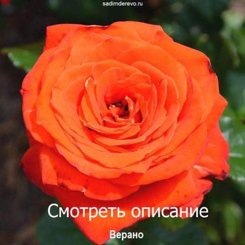 Саженцы Роз сорта Верано