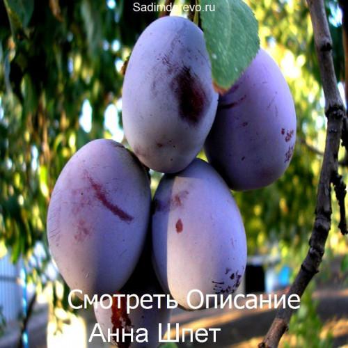 Саженцы Сливы сорта Анна Шпет