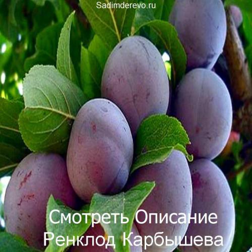 Саженцы Сливы сорта Ренклод Карбышева
