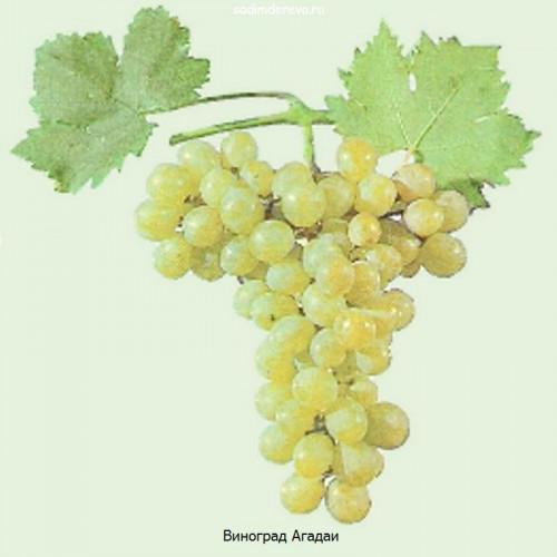 Саженцы Винограда сорта Агадаи