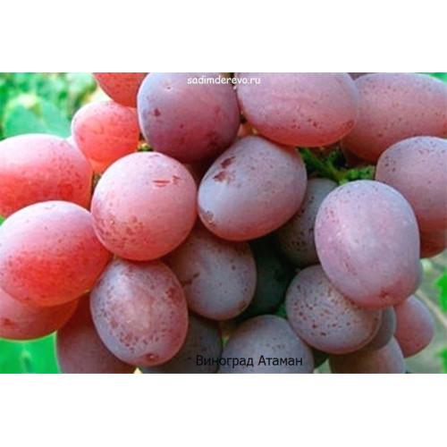 Саженцы Винограда сорта Атаман