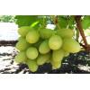 Способы длительного хранения винограда