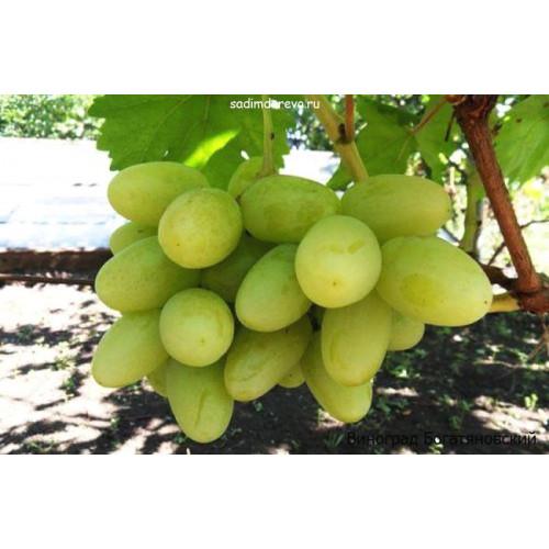 Саженцы Винограда Богатяновский - цена и описание