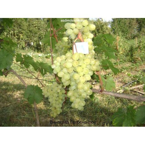 Саженцы Винограда сорта Галбена-Ноу