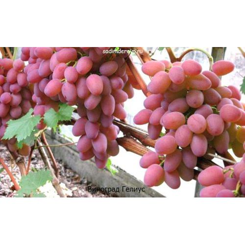 Саженцы Винограда сорта Гелиус