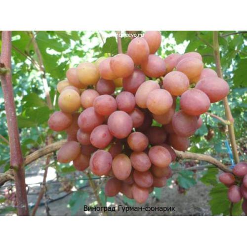 Саженцы Винограда сорта Гурман-фонарик