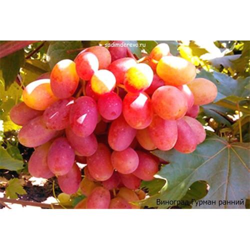 Саженцы Винограда сорта Гурман ранний