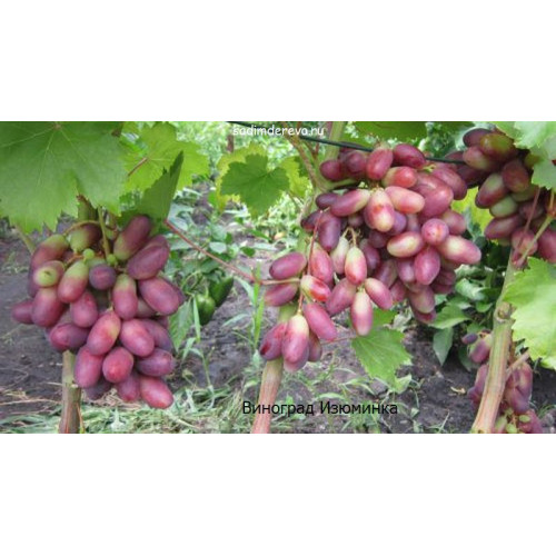 Саженцы Винограда сорта Изюминка