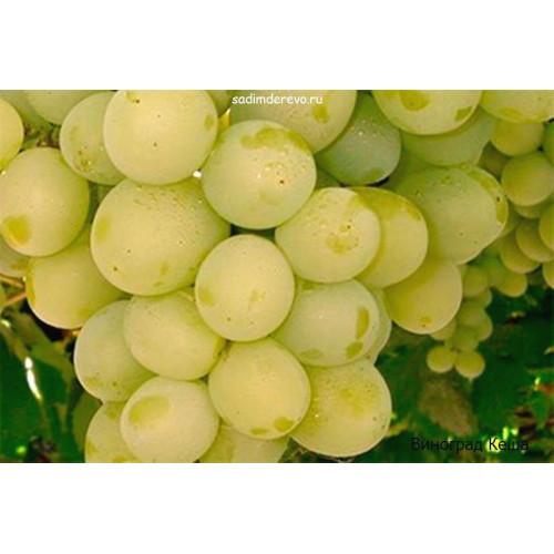 Саженцы Винограда сорта Кеша