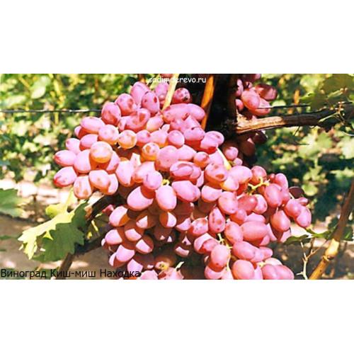 Саженцы Винограда сорта Киш-миш Находка