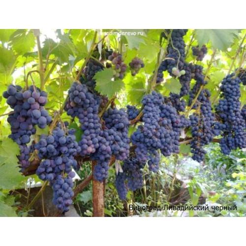Саженцы Винограда сорта Ливадийский черный