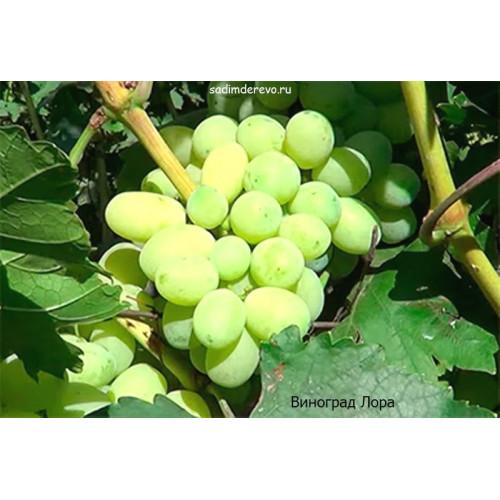 Саженцы Винограда сорта Лора