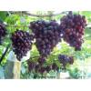 Болезни винограда и их лечение
