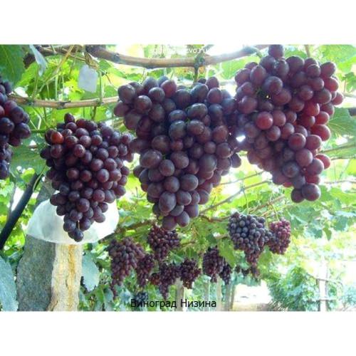 Саженцы Винограда сорта Низина