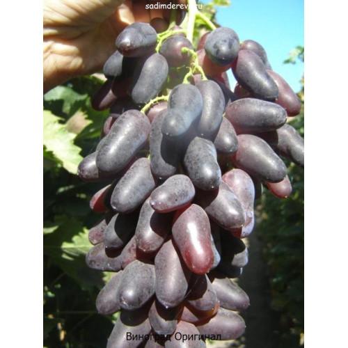 Саженцы Винограда сорта Оригинал