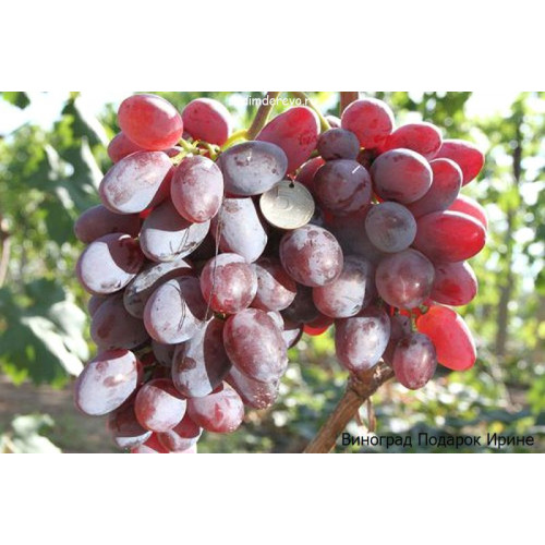 Саженцы Винограда сорта Подарок Ирине