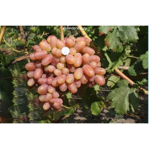 Саженцы Винограда сорта Преображение