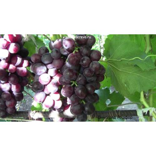 Саженцы Винограда сорта Рошфор